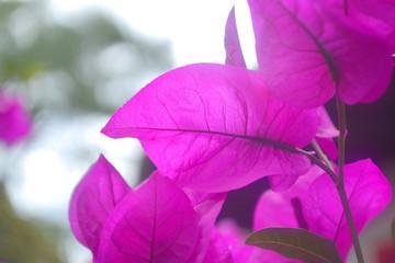 Intense fuchsia amazons flowers blur backgrounds
