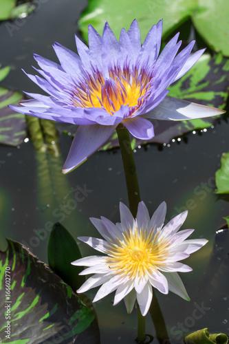 Two colors lotus flower beautiful lotus stock photo and royalty two colors lotus flower beautiful lotus mightylinksfo
