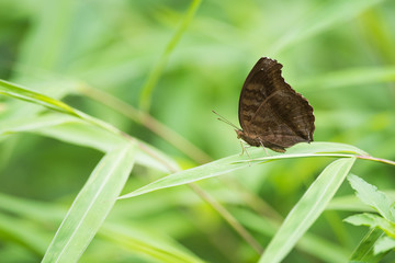 Lemon Pansy Butterfly on grass