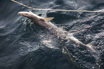 dogfish on a line