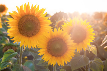 Beautiful yellow sunflower flowers against the sky, stunning landscape