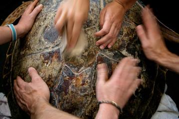 Researchers from the Karen Beasley Rehabilitation Center smooth the surface of a loggerhead sea turtle. Topsail Island, North Carolina, USA