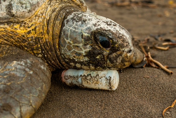 While returning to the sea after nesting a Green Sea Turtle (Chelonia mydas) rests on a plastic bottle. Tortuguero National Park, Costa Rica.