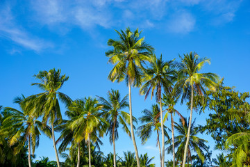 Tropical palm tree on blue sky
