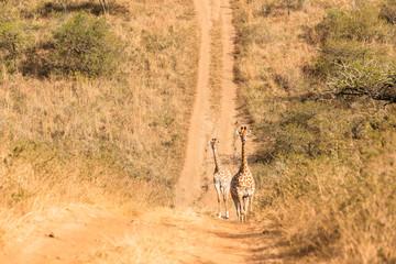 Giraffes Trees Wildlife Landscape