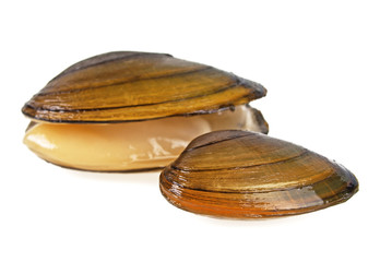 Swan mussels on a white background, large species of freshwater mussel.