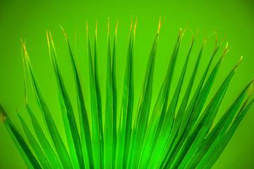 Bright green spread palm leaf on green background.