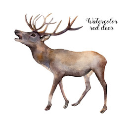 Watercolor red deer. Hand painted wild animal illustration isolated on white background. Christmas nature print for design.