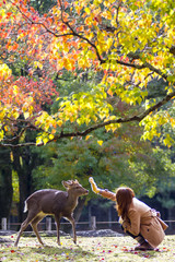 fall season with beautiful maple color at Nara Park, Japan