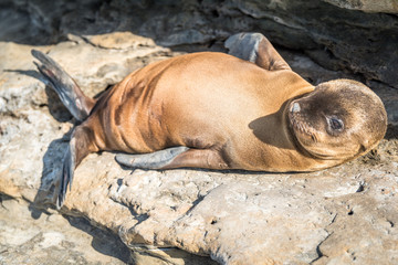Baby Sea Lion Pup Laying on the Cliffs