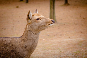 deer roam free in Nara Park, Japan.