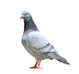 full body of male homing pigeon bird isolated white background