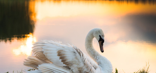 White swan floating on a surface of the lake