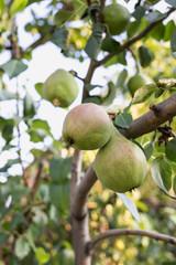 Beautiful green pears on the tree