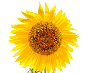 flower of sunflower isolated in white color
