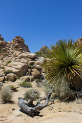 Joshua Tree National Park typical picture