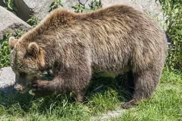 Hungriger Bär frisst einen Apfel