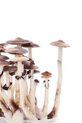 Psylocybin magic mushrooms isolated.