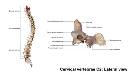 Cervical vertebrae C2_Lateral view