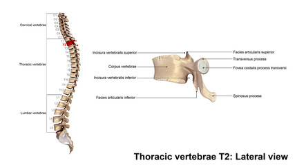 Thoracic vertebrae T2_Lateral view