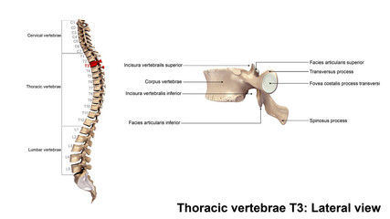 Thoracic vertebrae T3_Lateral view