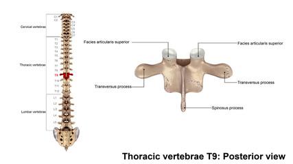 Thoracic vertebrae T9_Posterior view