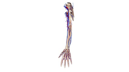 Upper limbs with blood vessels lateral view