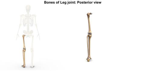 Bones of leg Joints_Posterior view