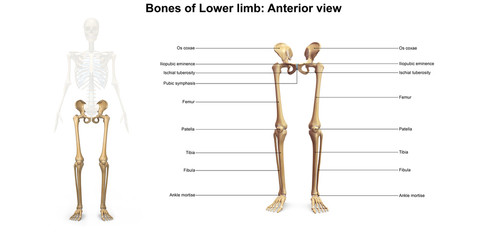 Skeleton_Lower limb_Anterior view