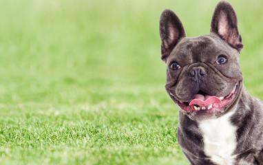 Tuinposter Franse bulldog Portrait of a French bulldog dog looking