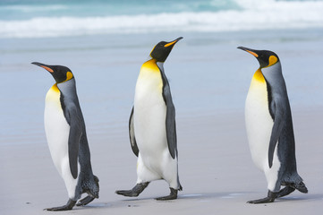 Three king penguins (Aptenodytes patagonica) walking to the sea on a sandy beach, Falkland Islands, South America
