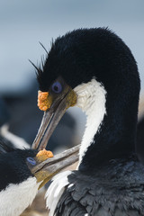 Imperial shags (Leucocarbo atriceps) in courtship display, Falkland Islands, South America