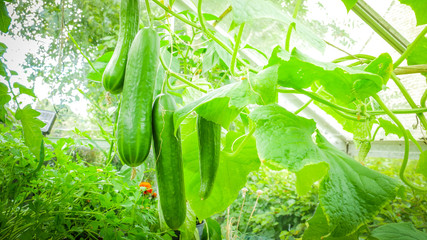 Fresh cucumbers in a greenhouse before picking