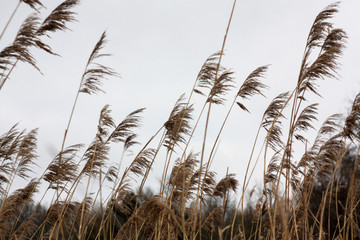 Tall dry grass sways in the wind day