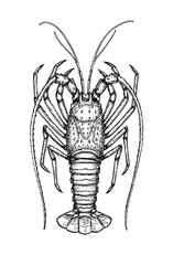 Ink sketch of spiny lobster