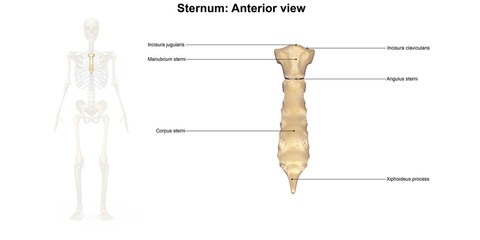 Sternum_Lateral view