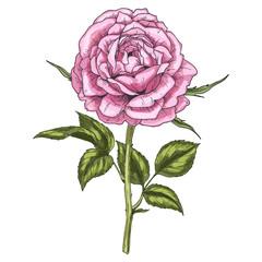Hand drawn pink rose flower isolated on white background. Botanical  illustration