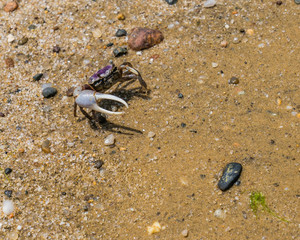 Tiny purple marsh crab with large single claw walking sideways on Nantucket beach