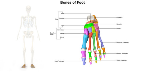 Bones of Foot_Dorsal view
