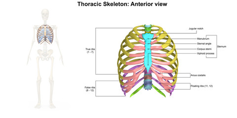 Thoracic Skeleton Anterior view