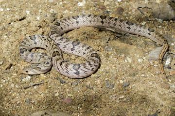Image of banded kukri snake(Oligodon fasciolatus) on the ground. Reptile Animal