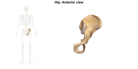 Hip_Single_Anterior view