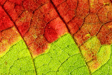 Backlit grapevine leaf slowly turning red in fall