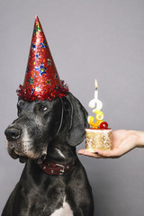 German Dane wearing a festive hat and sitting against of grey background