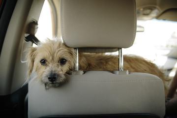 Portrait of dog in car