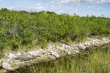 Alligators on rock by plants at Everglades National Park