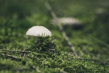 Weißer Knollenpilz im Wald auf Moos