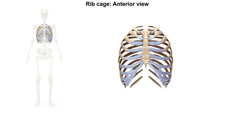 Skeleton_Rib cage_Anterior view
