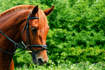 Portrait of a red horse on a green background