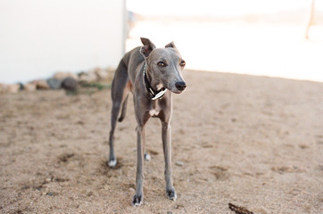 Grey Whippet standing outside on brown sand